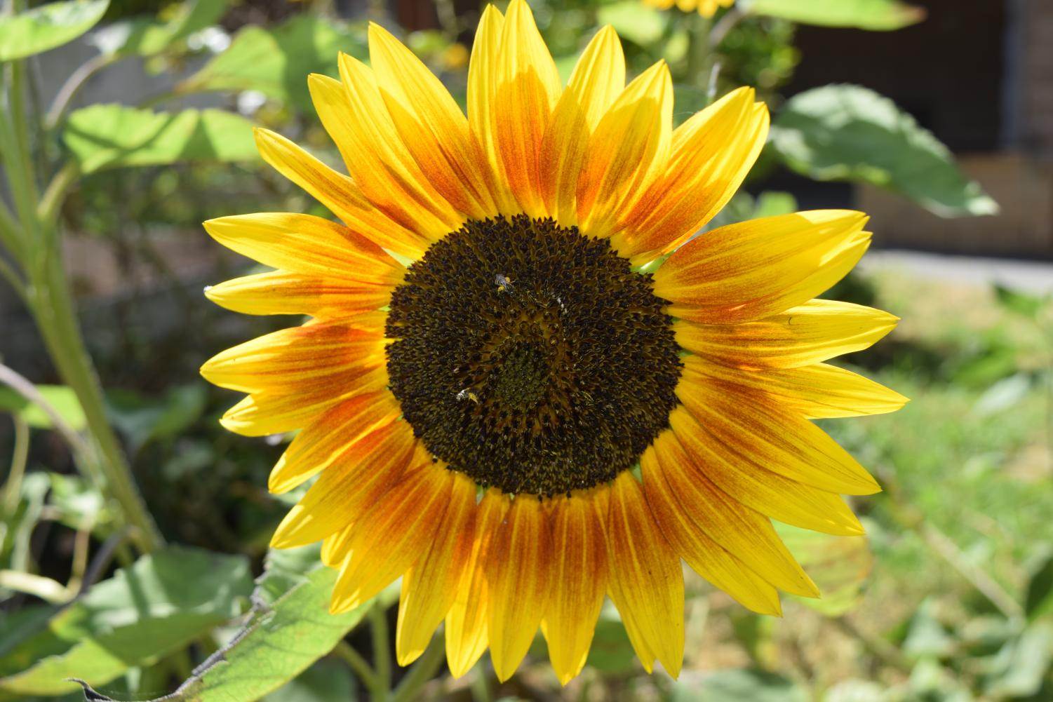 There are such magnificent sunflowers that spread warm thoughts.