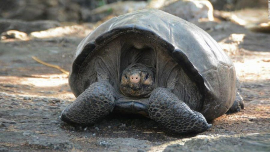 A Believed to be Extinct for 100 years, Giant Tortoise, found in Galapagos